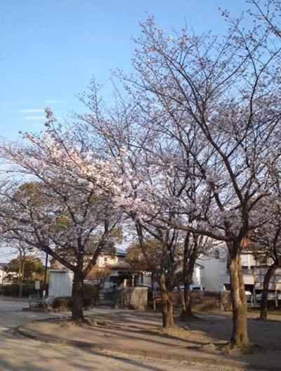 sakura_zenkei